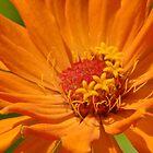 Orange Zinnia by JimmyGlenn Greenway