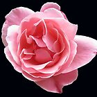 Radiant Pink Rose on Black Background by BlueMoonRose