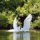 Two Swans showing there love by DAngelo982
