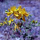 Saint John's Wort by Chris Gudger