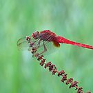 Reticulated Red at Rest by kibishipaul