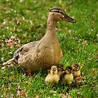 Ducklings & Mother by Jonathan Cox