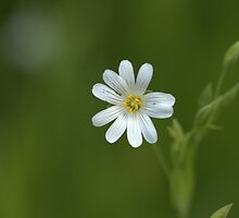 White Stitchwort by ncp-photography