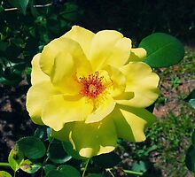 The Yellow Rose by RickDavis