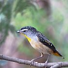 Looking for Me...?  (Spotted Pardalote) by Meg Hart