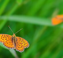 orange butterflies by novopics