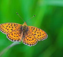 orange butterfly by novopics