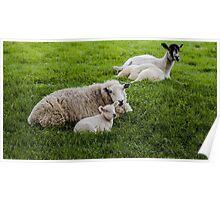 Ewe and Lamb Poster