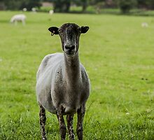 Ewe`s looking by Mike-G