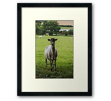 Ewe`s looking Framed Print