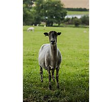 Ewe`s looking Photographic Print