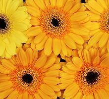 Blooming Gerbera Flowers and Petals - Yellow by sitnica