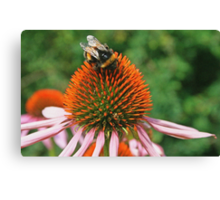 Coneflower & Bee Canvas Print