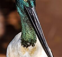 Jabiru portrait, Port Douglas, Queensland, Australia by MrBennettKent