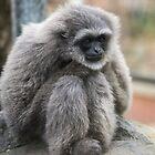 Silvery Gibbon by Steve Randall