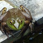 American Bullfrog by Linda  Makiej Photography