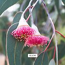 Silver Princess (Eucalyptus caesia). by Kell Rowe