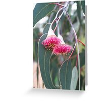 Silver Princess (Eucalyptus caesia). Greeting Card