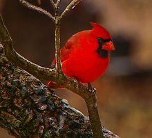 Portrait of a Redbird by mcstory
