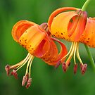 Michigan Lilies by lorilee