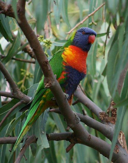 Rainbow lorikeet in a gum tree by Michael Matthews