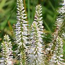 Delicate White Spikes by lorilee