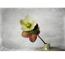 Vintage Helleborus - JUSTART ©  Photographic Print