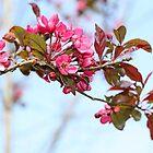 Cherry blossom by Agnes McGuinness