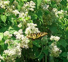 Climbing Hemp-vine and Yellow Swallowtail Butterfly by Vivian Eagleson