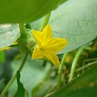 cucumber flower by LisaBeth