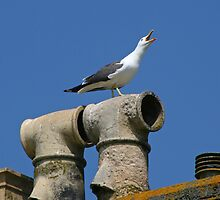 Lesser Black-Backed Gull by GreyFeatherPhot
