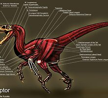 Velociraptor Muscle Study by Thedragonofdoom