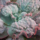 """Echeveria Gibbiflora (a """"Unique"""" Type!) by Jesi Marie Timpe"""