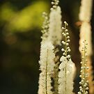 Black Cohosh by Linda  Makiej