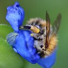 Bee on Tradescantia Spiderwort by AnnDixon