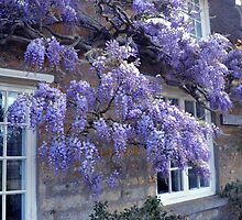 Wisteria At Whitchurch Canonicorum,Dorset. UK by lynn carter