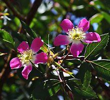 My Wild Rose by Gary Benson