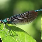 Male 'Beautiful Demoiselle' damselfly by Rivendell7