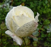 Raindrops on Roses by CraftSalad