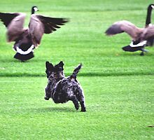SWEETPEE CHASING CANADIAN GEESE OFF GOLF COURSE by JAYMILO