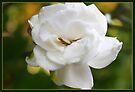 Gorgeous Garden Gardenia  by AuntDot