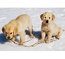 """Golden Retriever Puppies First Winter"" Photographic Print"