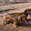 Jack Russell Dachshunds by V1mage