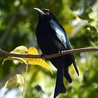 Spangled Drongo by watchthebirdie