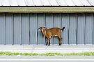 Goat on a Hot Tin Roof the Sequel  by Jean Poulton