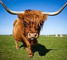 Highland Moo! by NickJewell
