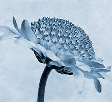 Chrysanthemum Cyanotype by John Edwards