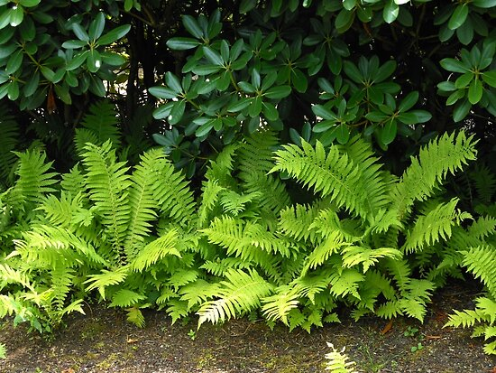 Sunlit Ferns by BlueMoonRose