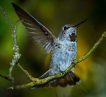 Anna's Hummingbird by RandyHume