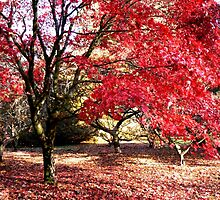 Japanese Maples in Autumn by Tracey Feltham